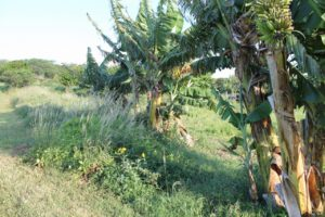 Bananen aus dem Garten