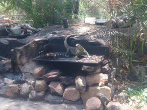 Guana-Eidechse zu besuch